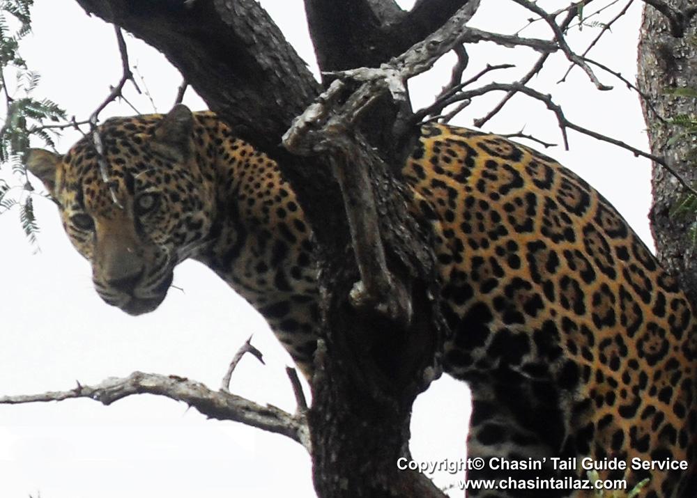 jaguar spotted in cochise county arizona | wild sonora