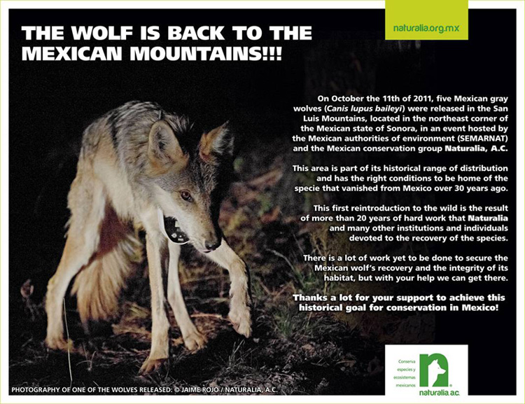 Mexican Grey Wolves released in Sonora