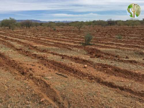 Tilling of the desert for buffelgrass and cattle