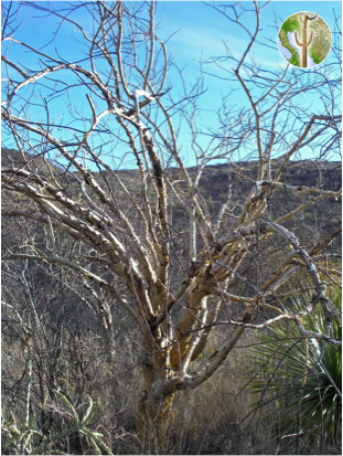 Older Bursera fagaroides frost-killed