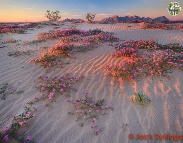 Gran Desierto de Altar, ©Jack Dykinga