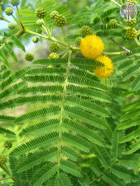 Acacia cochliacantha leaves and flower