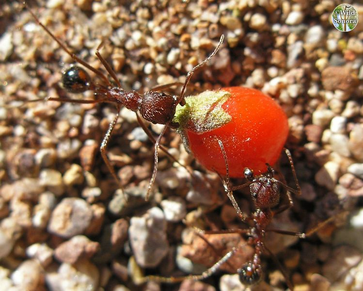 Ants dragging wolfberry fruit