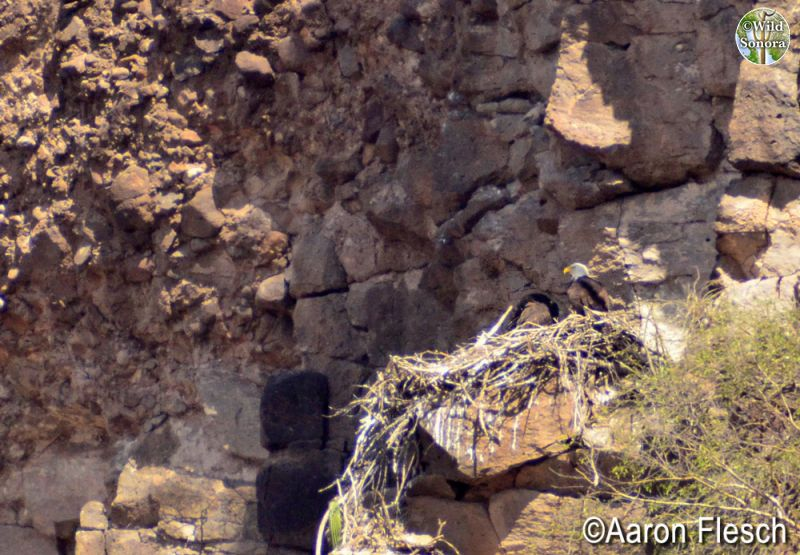 Bald eagles on nest in Sonora by the Rio Yaqui