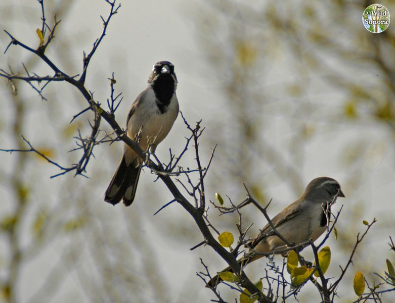 Pair of black-throated sparrows on Celtis pallida
