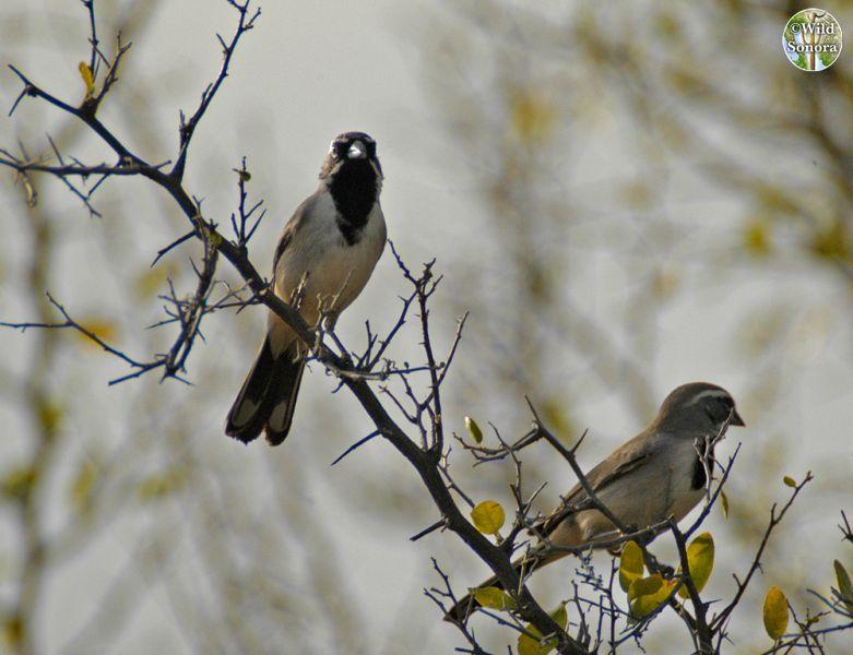 Pair of black-throated sparrows on Celtis pallida