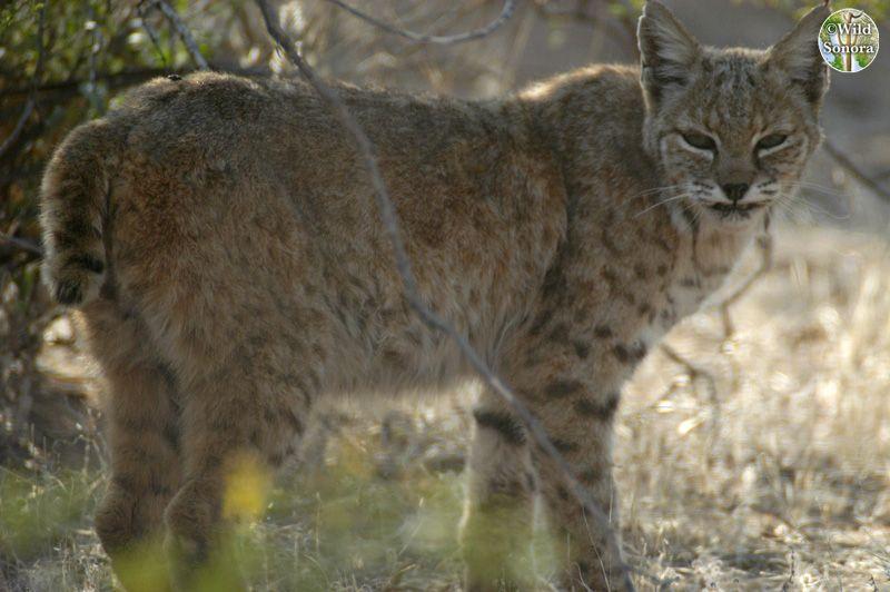 Sonora Desert bobcat