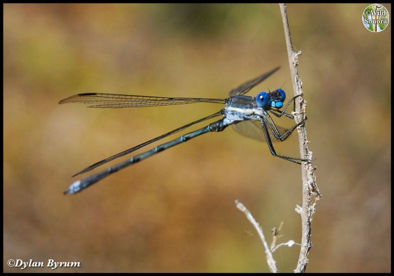 Bright blue damselfly in the Catalina Mountains