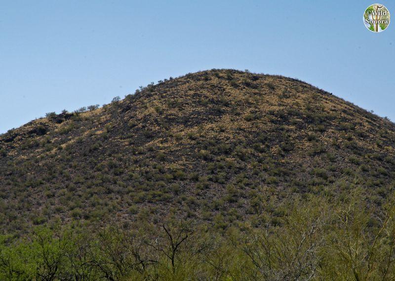 Buffelgrass taking over hill in Sonoran Desert