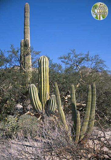 Organ Pipe, Saguaro, and Cardon