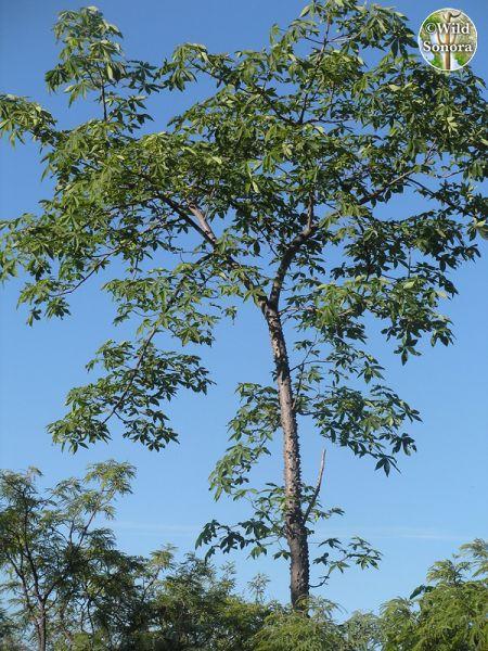 Ceiba acuminata