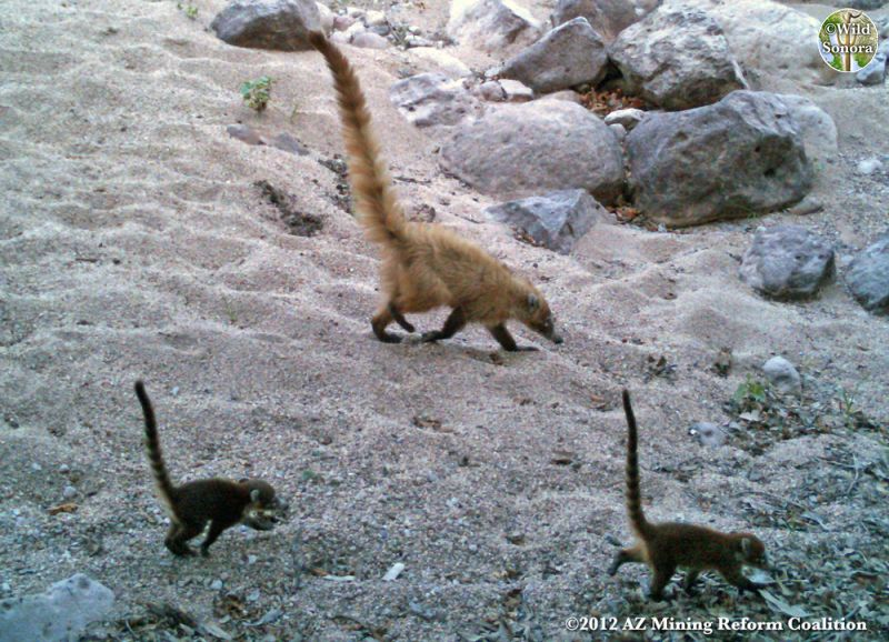 Coati Babies