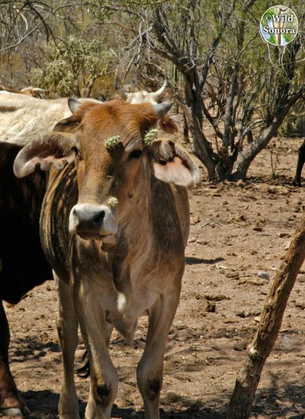 Cow with cholla on its face
