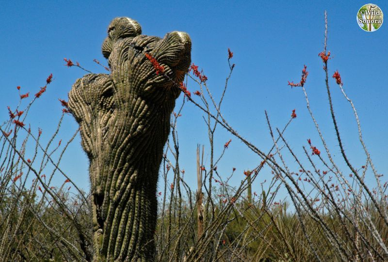 Crested Saguaro amongst blooming ocotillos