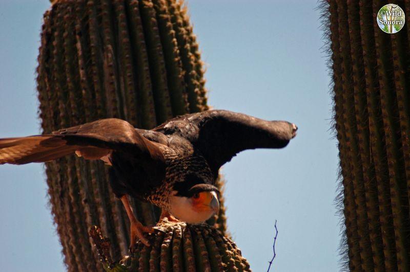 Crested caracara on saguaro