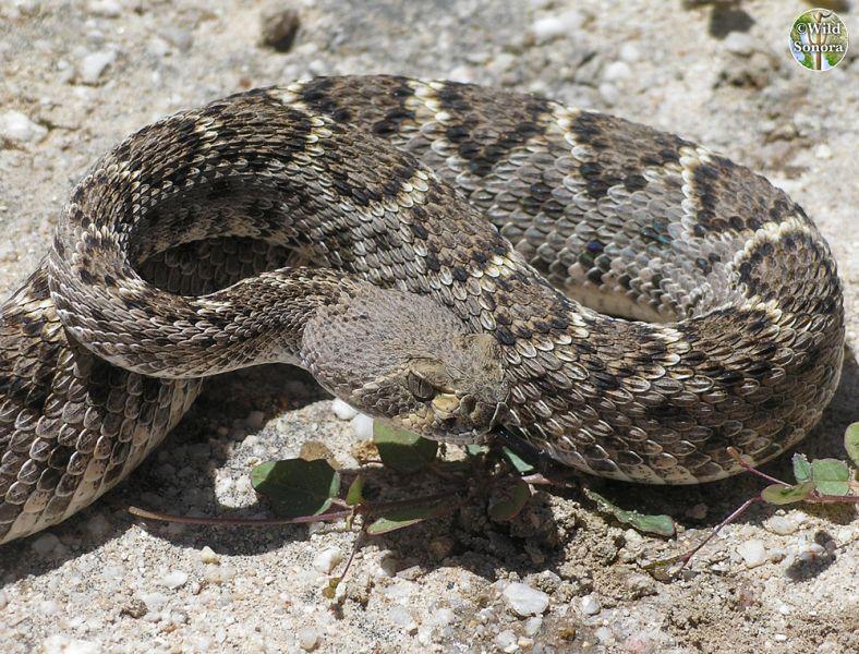 Western diamondback rattlesnake - photo#11
