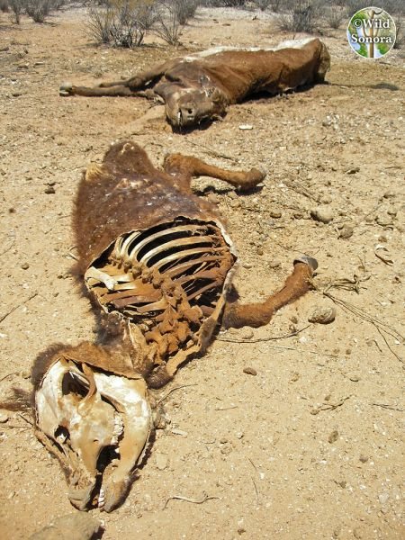 Dead desiccated cows, Sonora