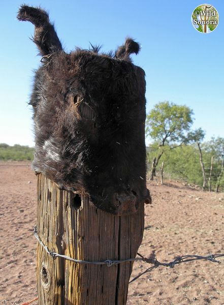 Donkey head stretched over fence post