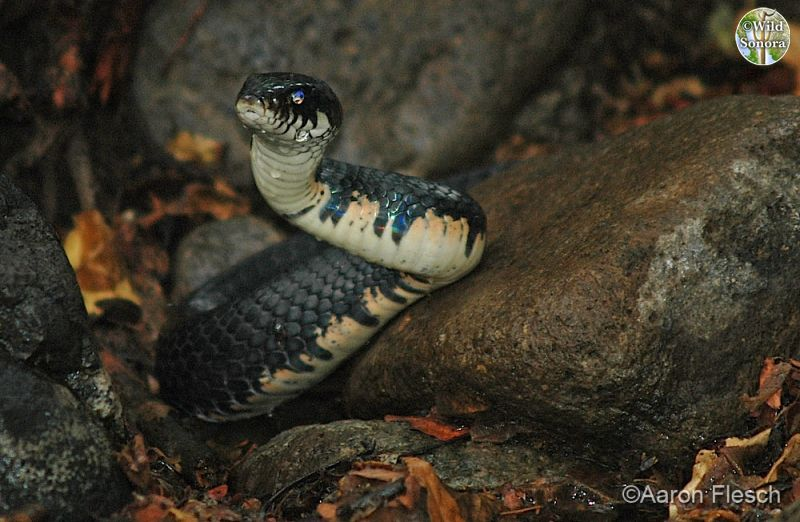 Drymarchon corais, indigo snake