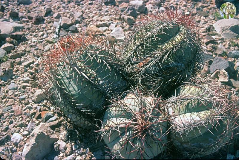 Echinocactus horizonthalonius var. nicholii