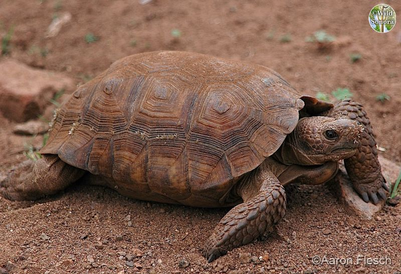 Gopherus agassizii, desert tortoise