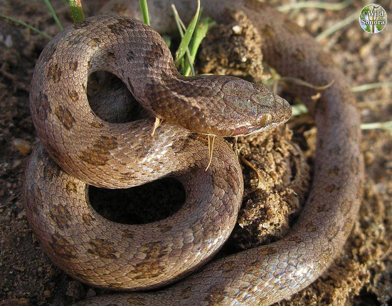 Hypsiglena - unnamed species - Hooded Nightsnake