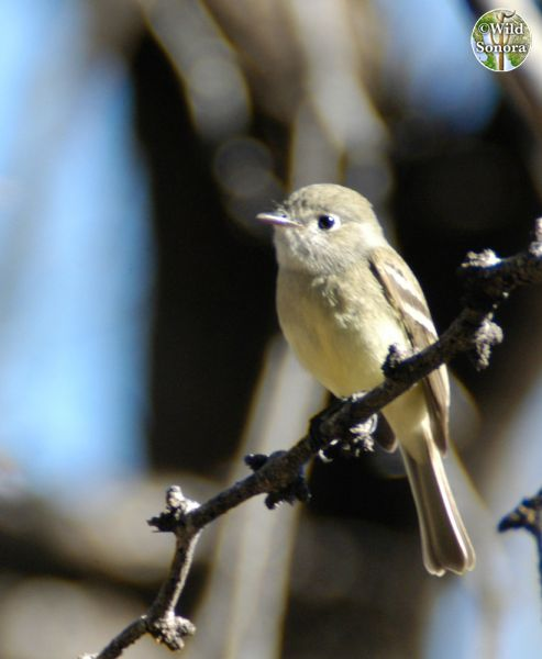 Unknown Impid Flycatcher