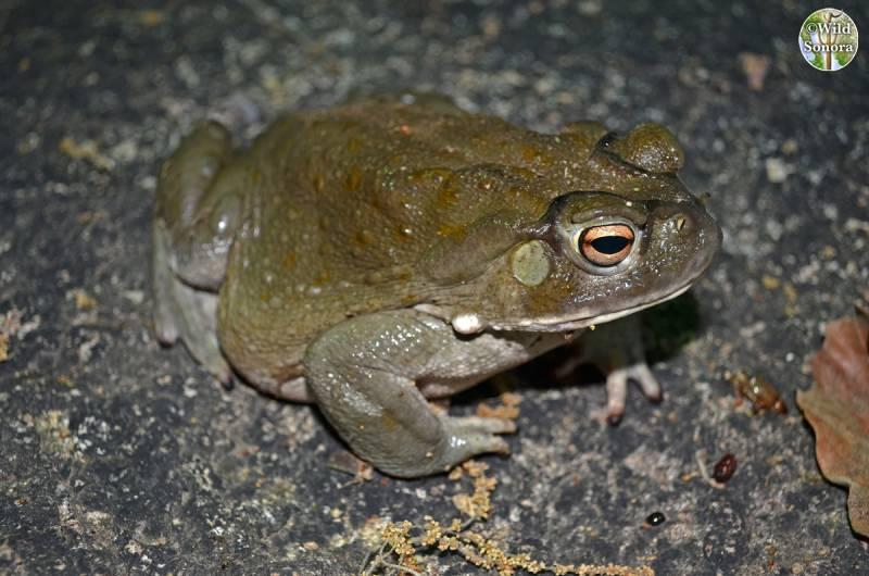 Incilius alvarius - Sonoran Desert toad