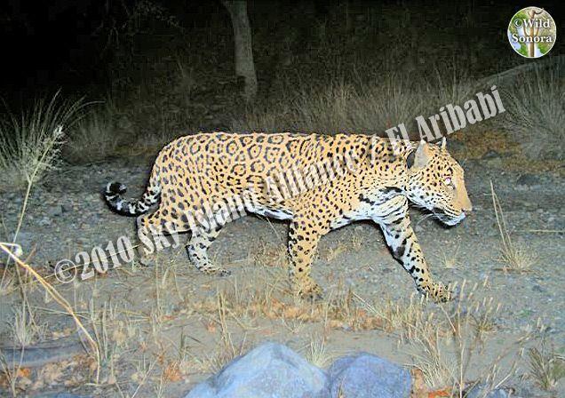 Jaguar at El Aribabi, Sonora