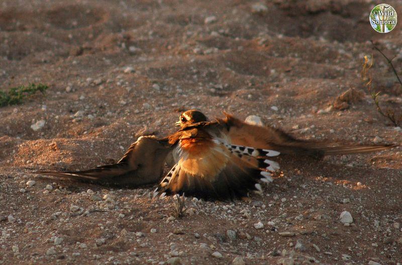 killdeer faking broken wing