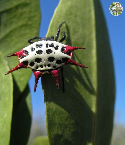 Mangrove spider with red spikes