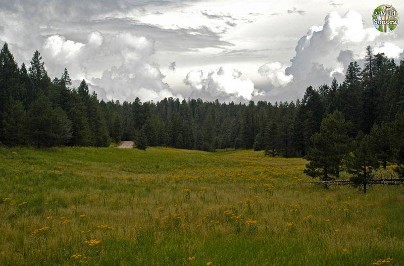Meadow on Mt. Graham