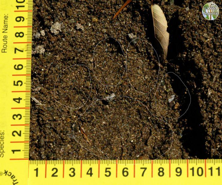 Track of wild ocelot