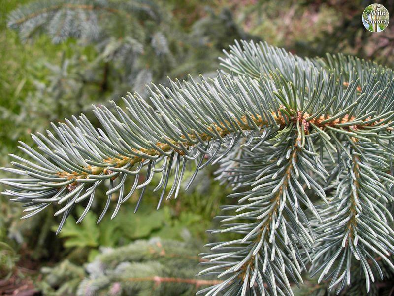 Picea engelmannii, Engelmann spruce