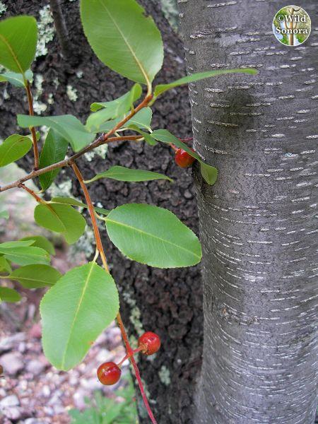 Prunus serotina, Arizona
