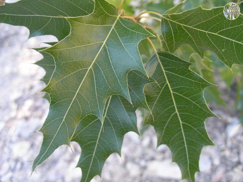 Quercus albocincta leaves