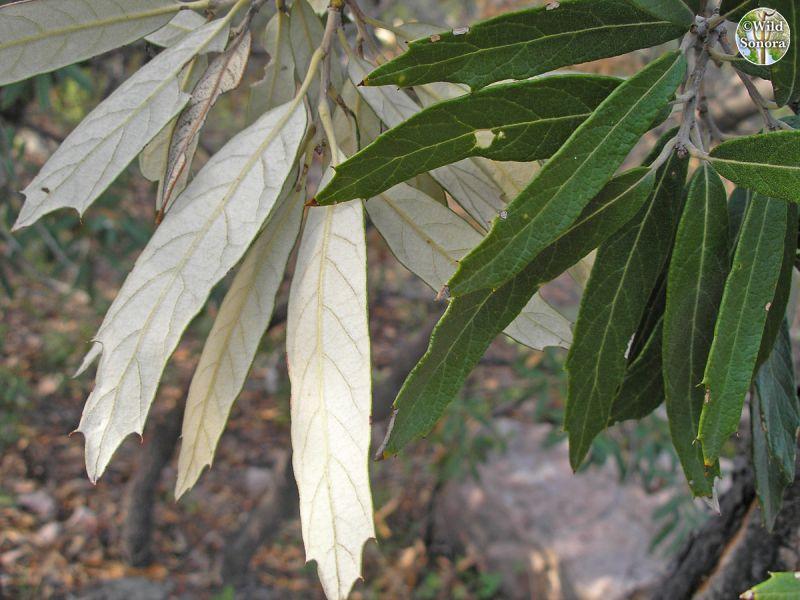 Quercus hypoleucoides, silverleaf oak