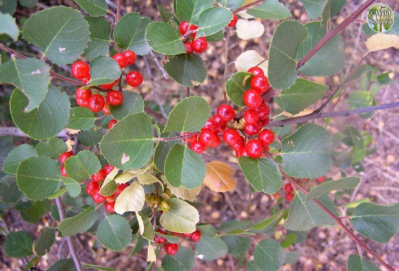 Rhamnus ilicifolia, hollyleaf buckthorn