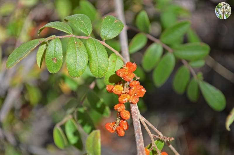 Rhus terebinthifolia