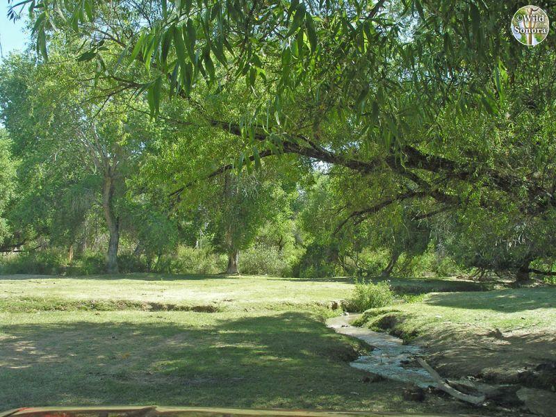 Rio Altar riparian vegetation under Tubutama bridge