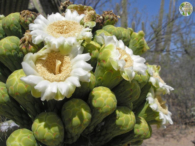 Saguaro flowers and buds
