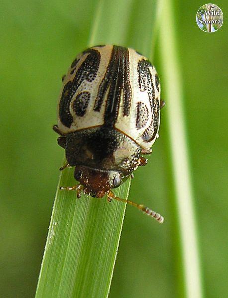 Small beetle