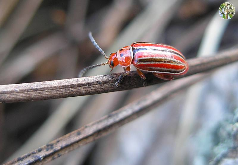 Small stripped red beetle in pine/oak forest