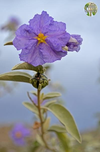 Solanum hindsianum flower and fruit
