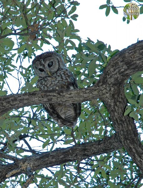Spotted owl in oak
