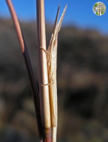 Unknown grasshopper, Tumacacoris