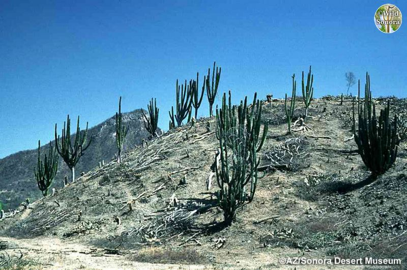 Tropical Deciduous Forest cleared for cattle (©AZ/Sonora Desert Museum)