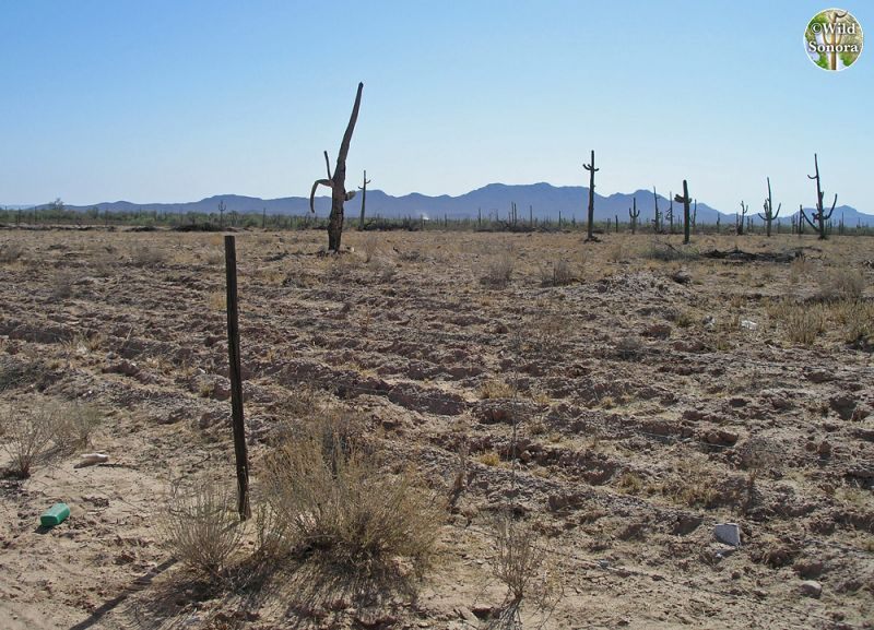 Tilling and blading of Sonoran Desert for buffelgrass
