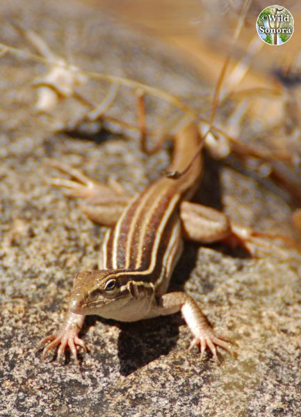 Unknown whiptail