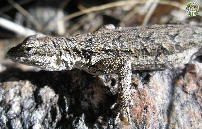 Urosaurus ornatus, ornate tree lizard